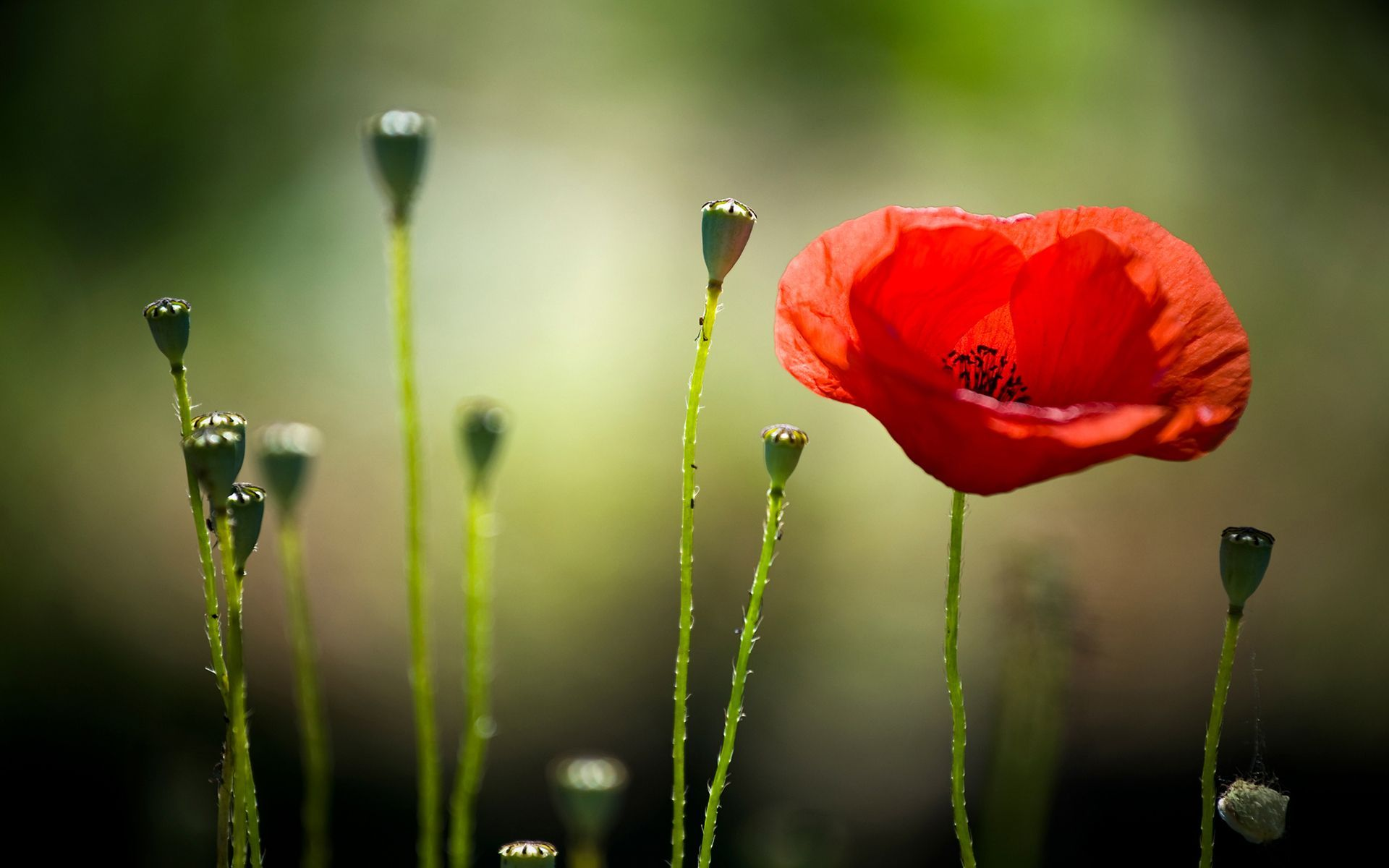 36456627-poppy-wallpaper